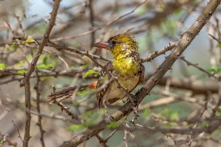 Yellow-breasted_Barbet.jpg