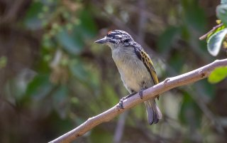 Red-fronted_Tinkerbird.jpg