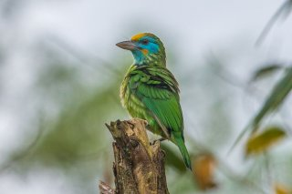Yellow-fronted_Barbet.jpg