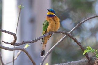 Blue-breasted_Bee-eater.jpg