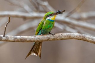 Swallow-tailed_Bee-eater.jpg