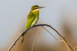 Madagascar_Bee-eater.jpg