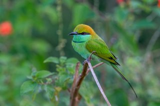 Green_Bee-eater.jpg