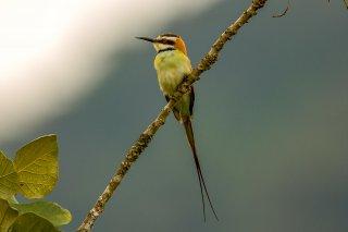 White-throated_Bee-eater.jpg