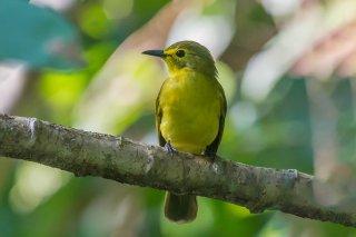Yellow-browed_Bulbul.jpg