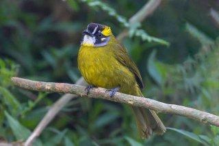 Yellow-eared_Bulbul.jpg