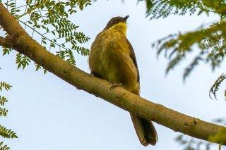 Yellow-throated_Greenbul.jpg