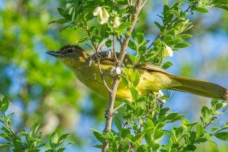 Yellow-bellied_Greenbul.jpg