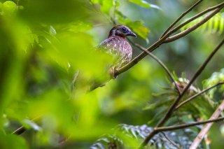 Band-tailed_Guan.jpg
