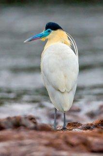 Capped_Heron.jpg