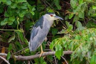 Black-crowned_Night_Heron.jpg