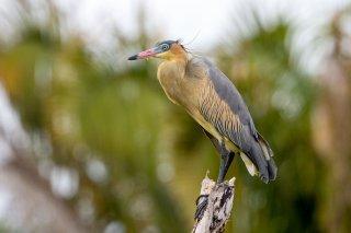 Whistling_Heron.jpg