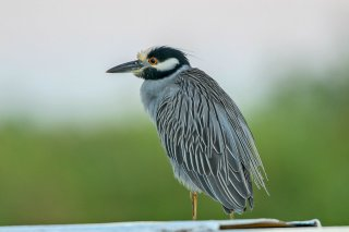Yellow-crowned_Night-Heron.jpg