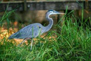 Great_Blue_Heron.jpg