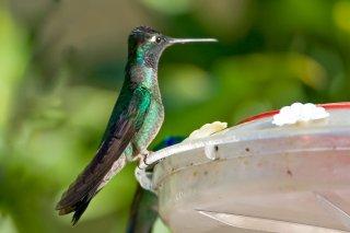 Rivolis_Hummingbird.jpg