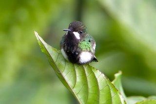 Green_Thorntail_female.jpg