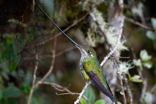 Sword-billed_Hummingbird_female.jpg