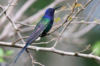 Swallow-tailed_Hummingbird.jpg