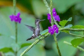 Black-bellied_Thorntail_female.jpg