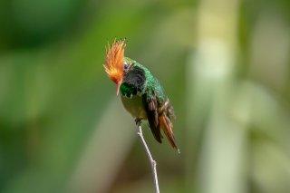 Rufous-crested_Coquette_male.jpg
