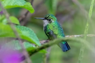 Blue-tailed_Emerald_female.jpg