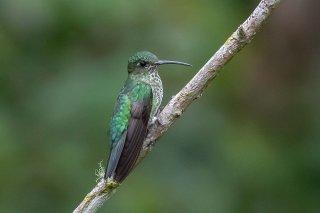 Many-spotted_Hummingbird.jpg