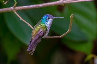 Andean_Emerald.jpg