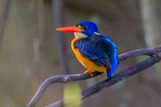 Variable_Dwarf-kingfisher.jpg