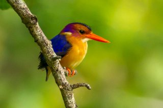 African_Pygmy_Kingfisher.jpg