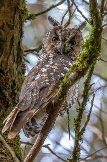 Abyssinian_Long-eared_Owl.jpg