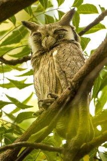 Northern_White-faced_Scops_Owl.jpg