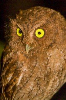 Vermiculated_Screech-Owl.jpg