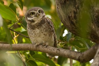 Spotted_Owlet.jpg