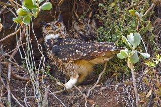 Cape_Eagle_Owl.jpg