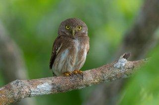 Amazonian_Pygmy_Owl.jpg