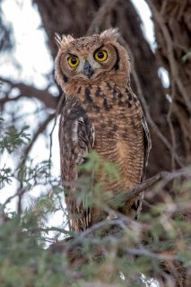 Spotted_Eagle_Owl.jpg