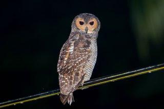 Spotted_Wood_Owl.jpg