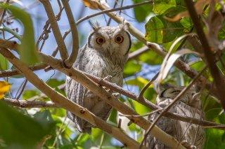White-faced_Scops-Owl.jpg