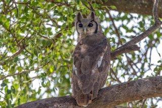 Verreaux_Eagle_Owl.jpg