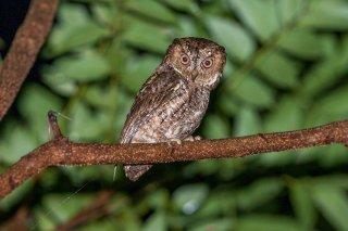 Sulawesi_Scops_Owl.jpg