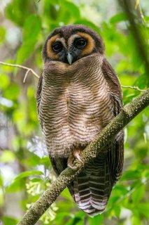 Brown_Wood_Owl.jpg