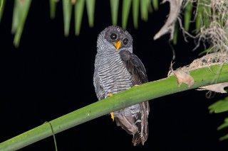 Black-and-White_Owl.jpg