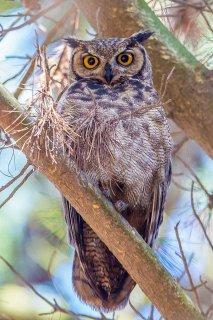 Magallanic_Horned_Owl.jpg