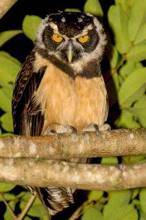 Spectacled_Owl.jpg