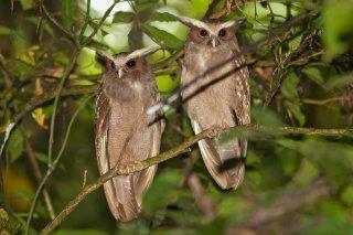 Crested_Owl.jpg