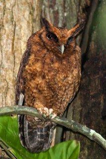 Tawny-bellied_Screetch-Owl.jpg