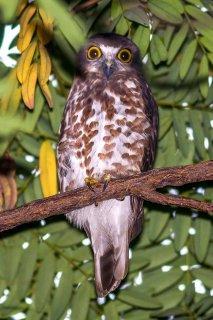 Brown_Hawk_Owl.jpg