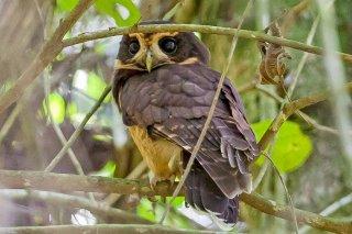 Tawny-browed_Owl.jpg