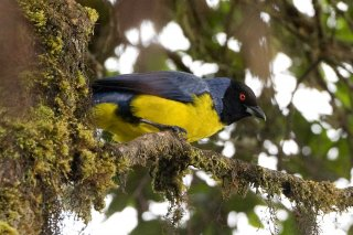 Hooded_Mountain_Tanager.jpg