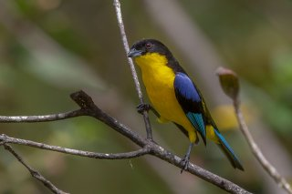 Blue-winged_Mountain-Tanager.jpg